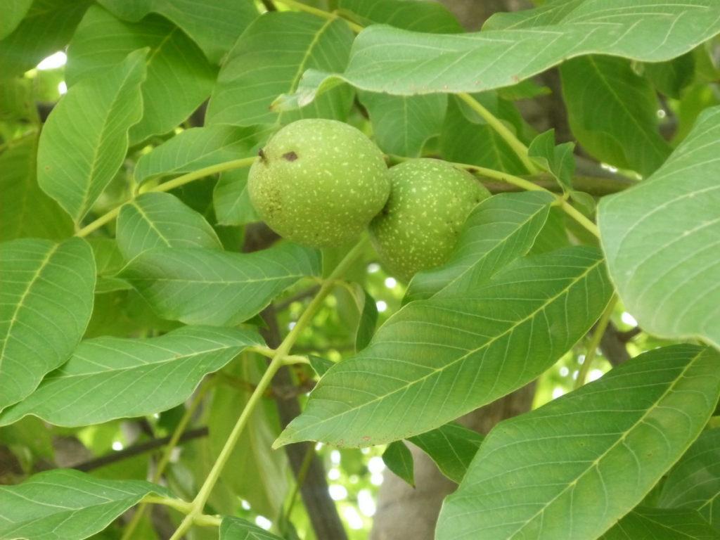 Применение зеленого грецкого ореха в народной медицине